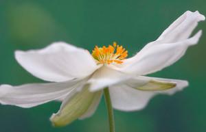 L'anemone, fiore protagonista del 2016