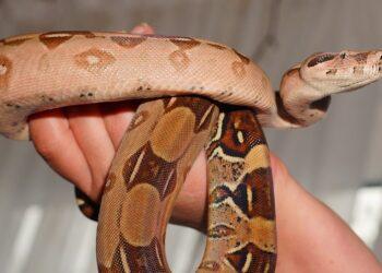 Boa Imperator Lurking Snake Emperor Snake Boa