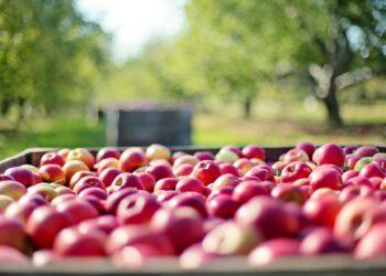 Agricoltura di mele