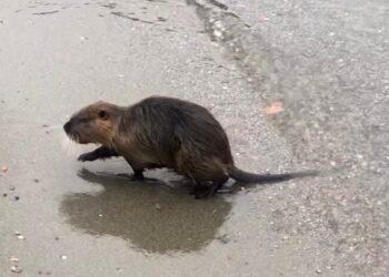 Una nutria sulla spiaggia del lago di Como