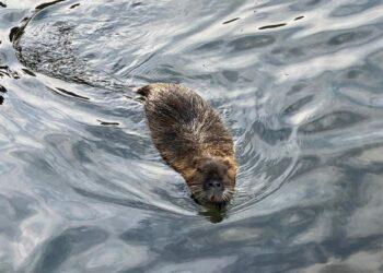 La nutria nuota nel lago di Como