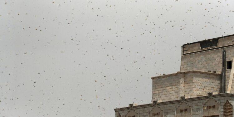 Locuste del deserto danneggiano campi agricoli nell'est