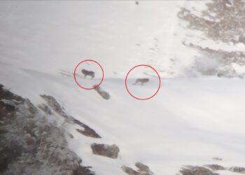 Due lupi fotografati sopra Garzeno, in provincia di Como