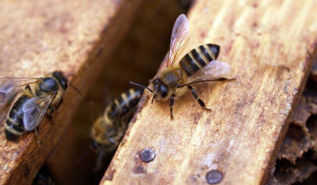 un'ape su una lista di legno