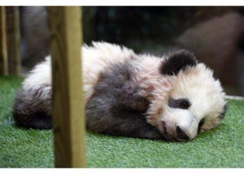 La mamma arrivata dalla Cina nell'ambito 'diplomazia del Panda'