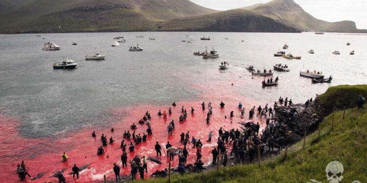 Dieci giorni fa la mattanza di quasi 1.500 delfini