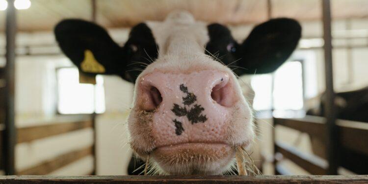 la testa di una mucca che spunta dal recinto nella stalla