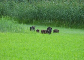 cinghiali nella riserva